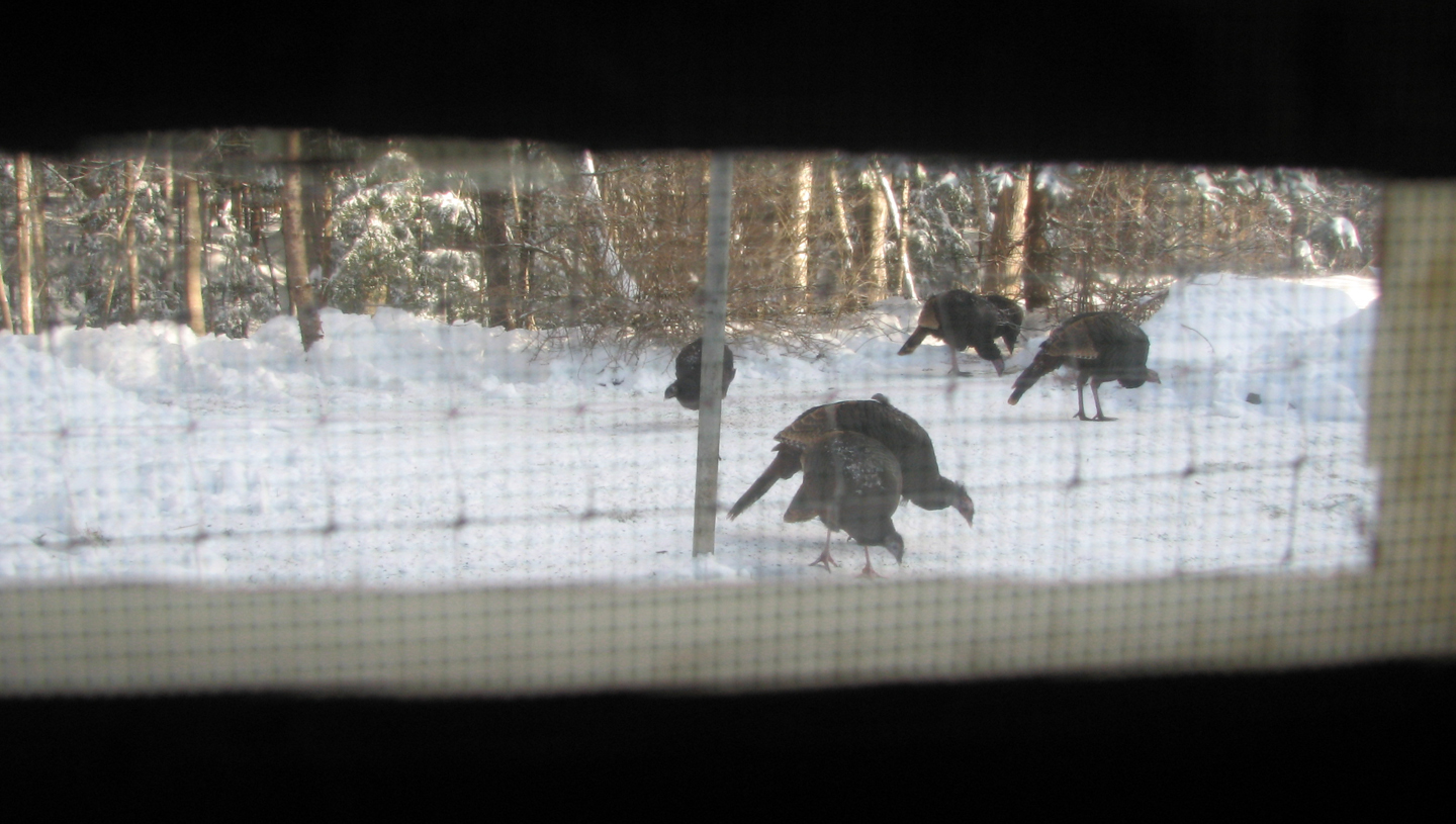 Wild Turkeys at Feeder