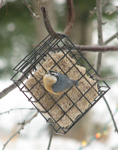 Red-breasted Nuthatch, turning to look at photographer