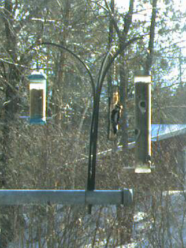 Hairy Woodpecker via our FeederCam