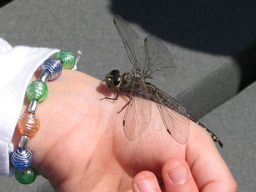 Canada Darner (Aeshna canadensis) on child's hand
