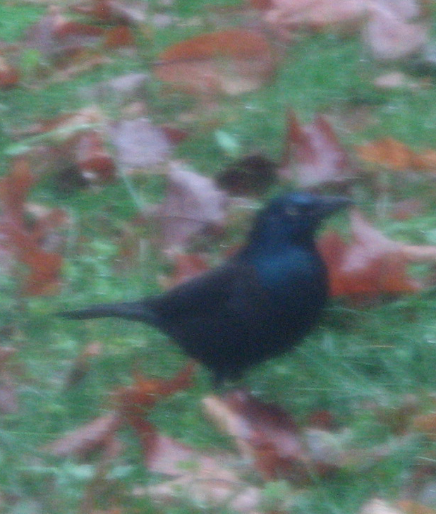possible a Rusty Blackbird (but not in fall plumage?) or Common Grackle (but that tail is too short)