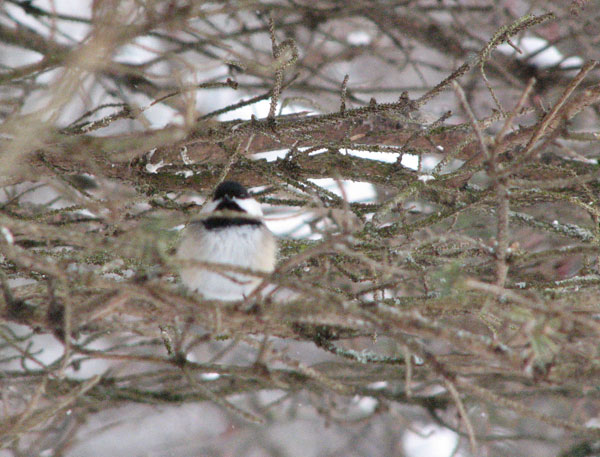 Chickadee on a snowy day, in an evergreen