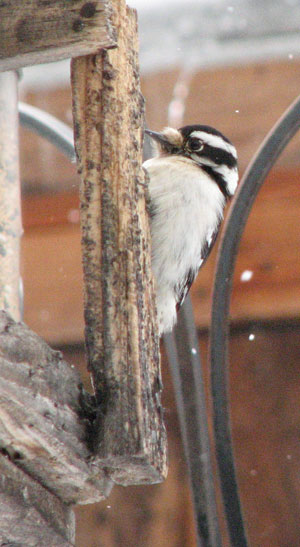 Downy Woodpecker at Platform feeder