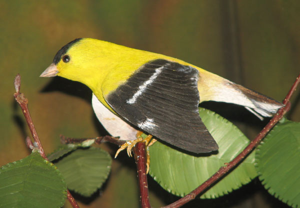 American Goldfinch, male. Carved by Bob Spear. (photo by Anna Marie Gavin, Intern, 2011)