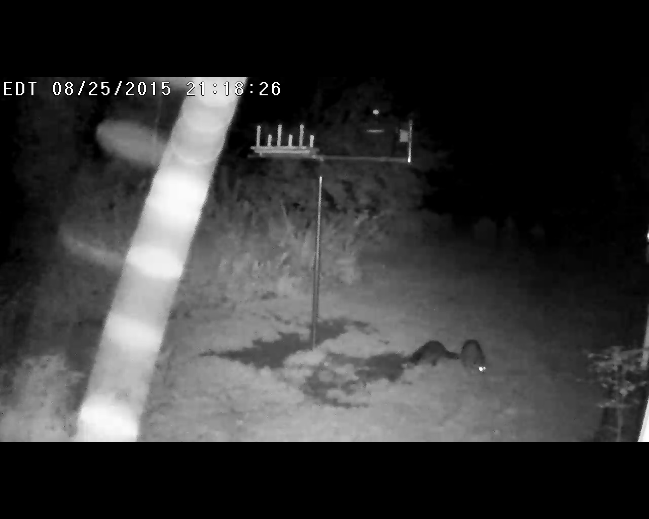 Two raccoons, some moths, and a glowing strand of bee balm (we think)