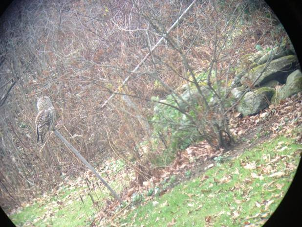 Barred Owl in Feeder Area, November 20 or so. Taken with an iPhone