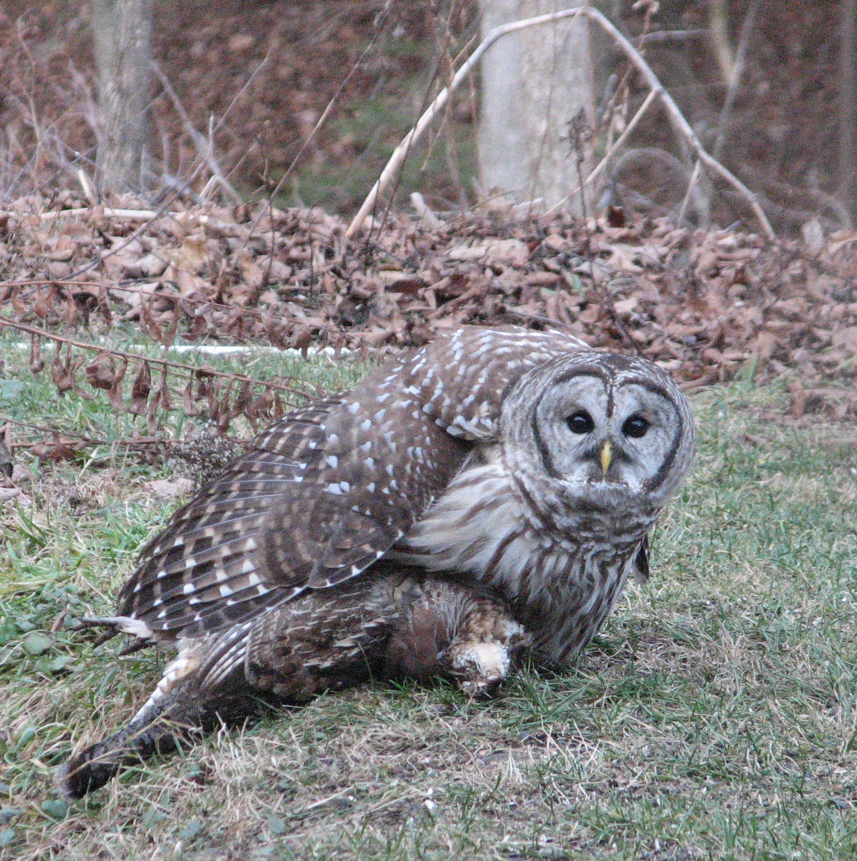 Barred Owl with Ruffed Grouse kill. Photo by Allison Gergely for the Birds of Vermont Museum, 10 December 2015 . The birds are near the small pond visible through a conference room window.