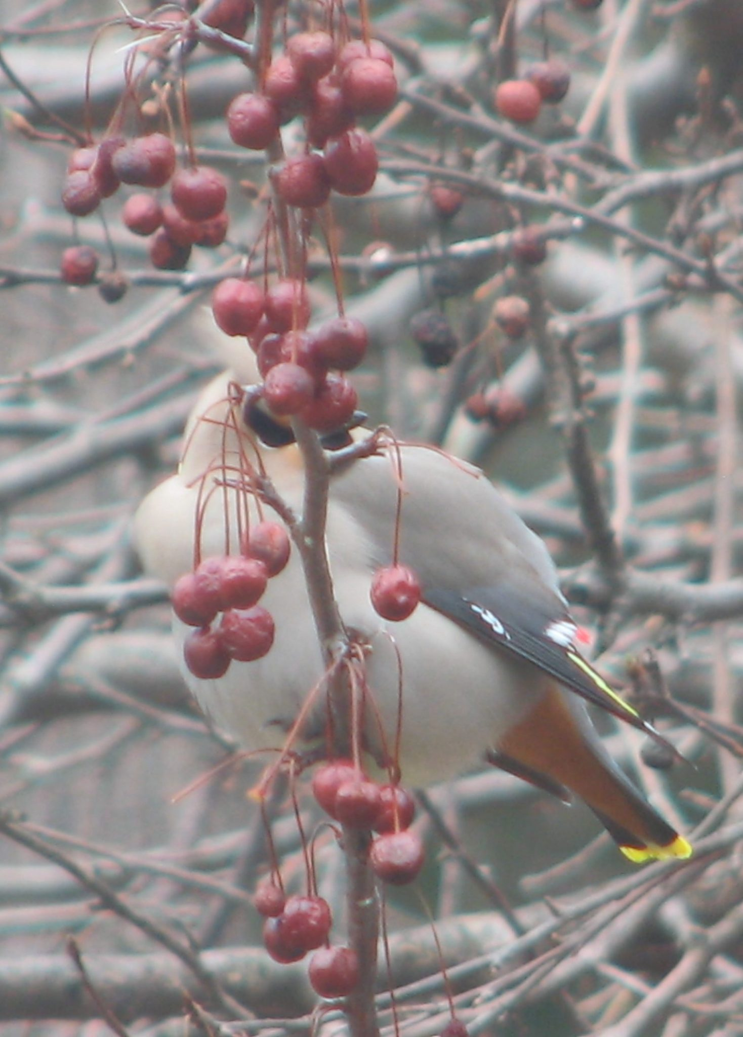 Bohemian Waxwing in crabapples, Birds of Vermont Museum, April 3, 2016