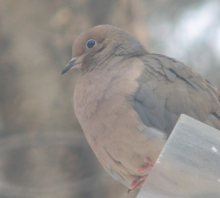 Mourning Dove on Feeder in Winter