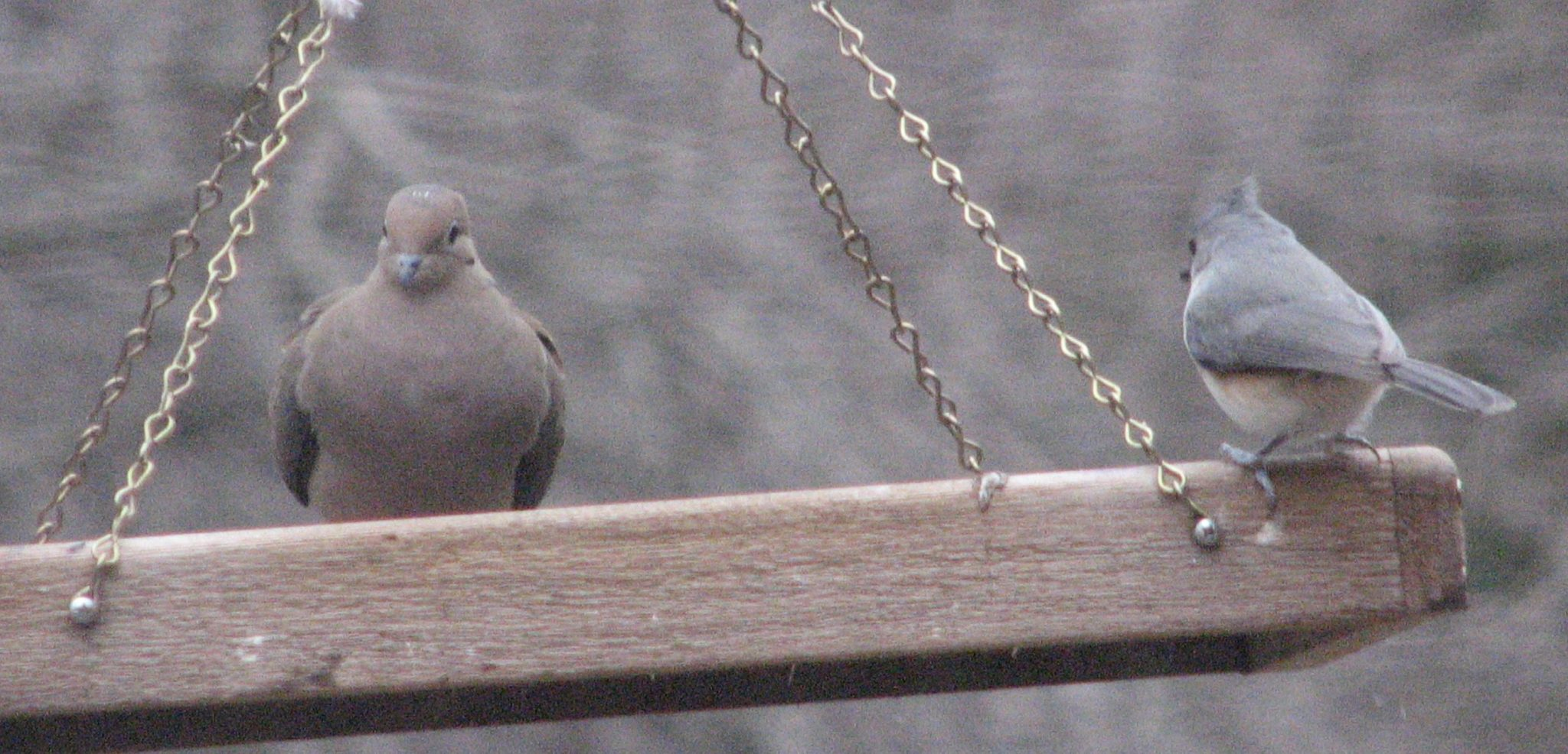 Mourning Dove and Tufted Titmouse on swinging tray feeder.