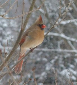 Northern Cardinal female. ©2011 Laura Waterhouse