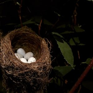 American Goldfinch nest. Photo by Erin Talmage of nest in Goldfinch exhibit.
