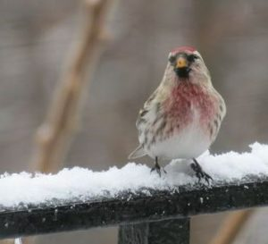 Common Redpoll. Photo by E. Talmage and used by permission.