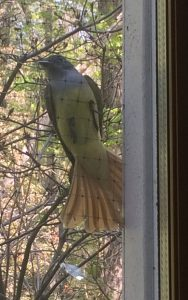 [Great Crested Flycatcher on office window netting. May 2019]