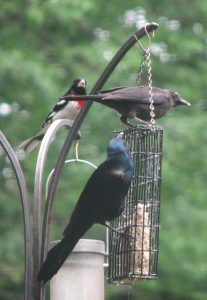 Adult Common Grackle tends its juvenile while a Rose-breasted Grosbeak looks on.
