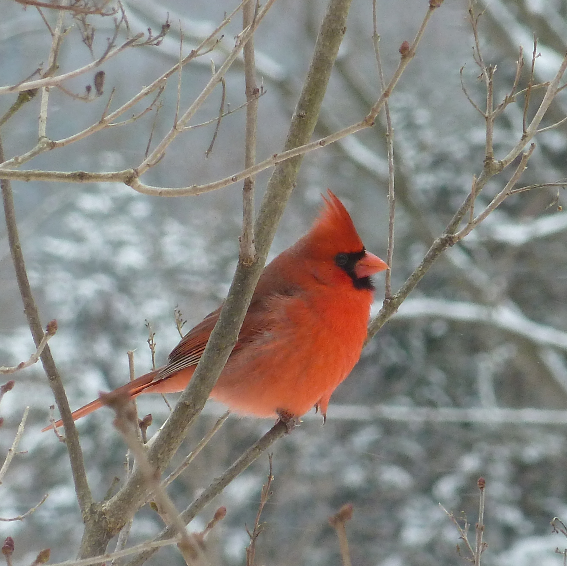 Photo of Northern Cardinal (male)