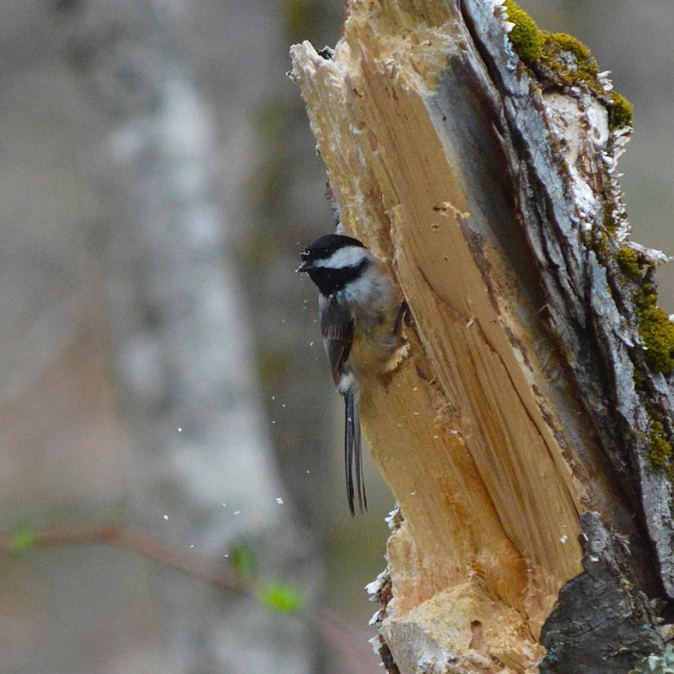 Blac-capped chickadee on stump