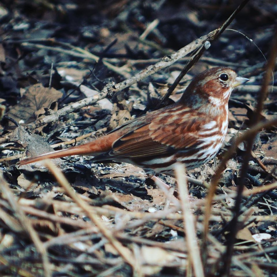 Photo: Fox Sparrow photographed by Erin Talmage, © 2019 and used by permission.