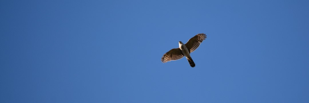 Unidentified hawk overhead against a brilliantly blue sky. Photo copyright Erin Talmage and used by permission.