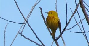 Yellow Warbler ©copyright Bob Johnson and used by permission